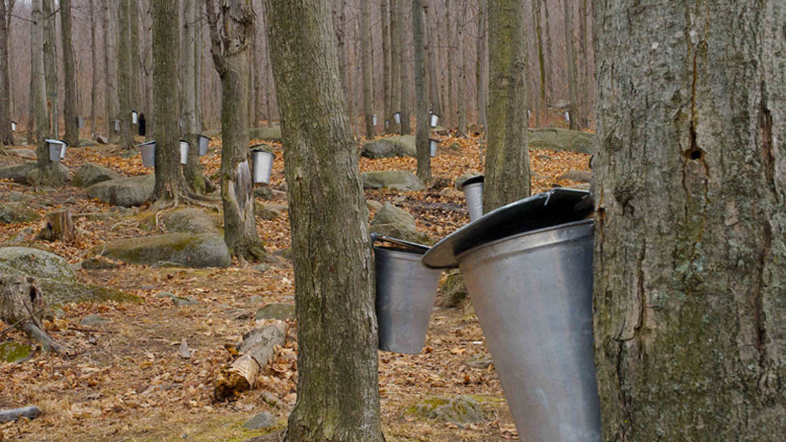 Farming Maple Syrup, Quebec, CDN
